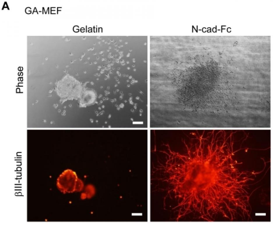 Feeder cells support the culture of induced pluripotent stem cells even after chemical fixation.