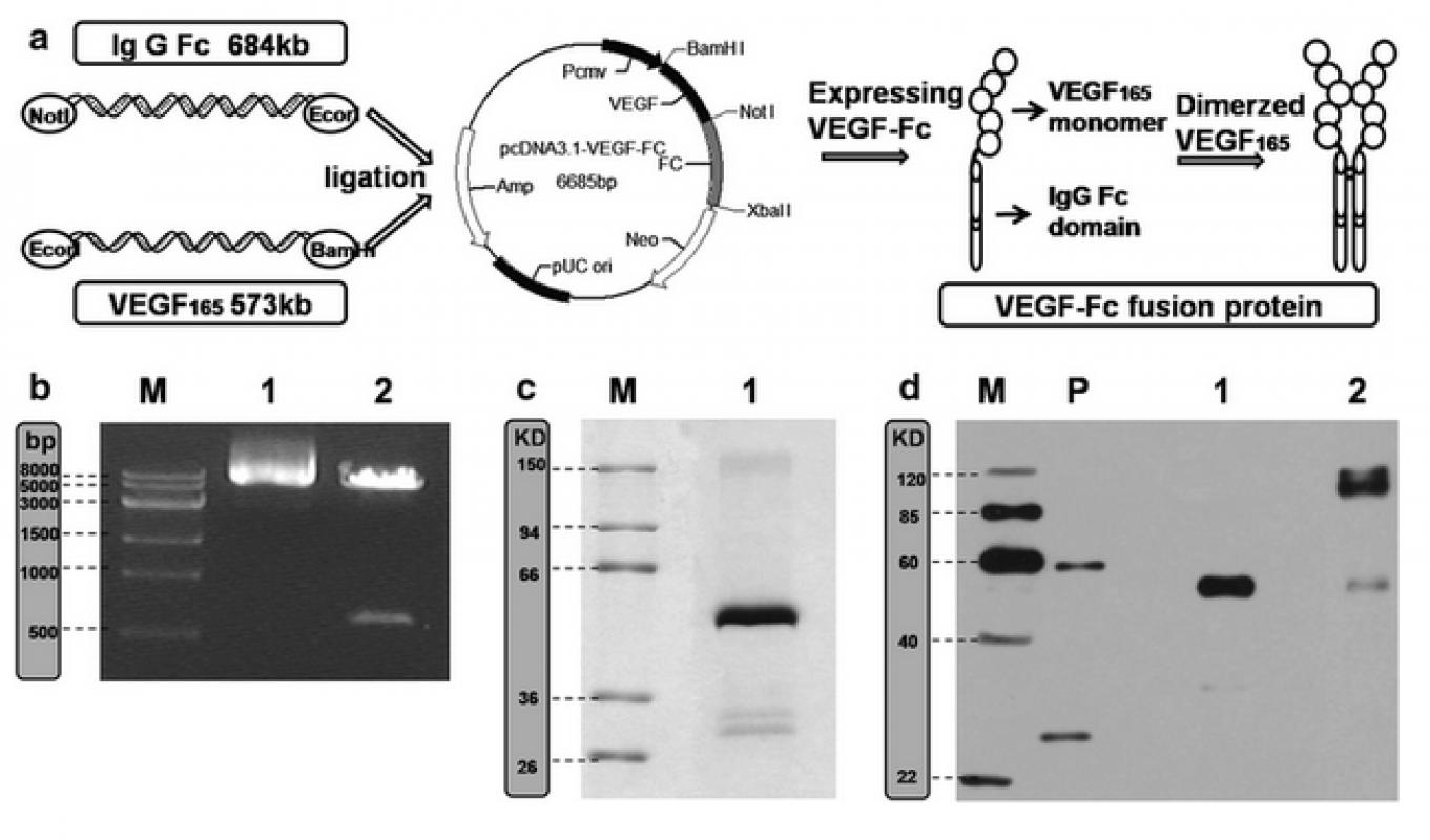 Preparation and characterization of a VEGF-Fc fusion protein matrix for enhancing HUVEC growth.